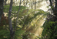 Slanting rays of sun penetrate fern and ohia lehua jungle in the morning mist