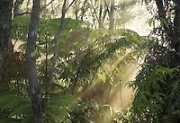Slanting rays of sun penetrate fern and ohia lehua jungle in the morning mist