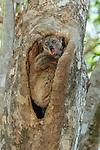 Ankarana Sportive Lemur (Lepilemur ankaranensis). Ankarana National Park, northern Madagascar.