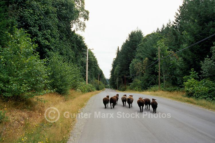 Runaway Black Sheep (Ovis aries) running along Country Road on Saltspring (Salt Spring) Island, Southern Gulf Islands, BC, British Columbia, Canada