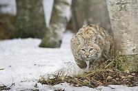 Bobcat stalking prey - CA