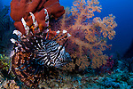 Lionfish, Pterois volitans, and soft corals, Dendronephthya sp., Raja Ampat, West Papua, Indonesia, Pacific Ocean