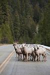 Bighorn Sheep herd of ewes on the Skalkaho Highway ion western Montana
