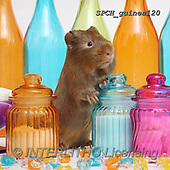 Xavier, ANIMALS, REALISTISCHE TIERE, ANIMALES REALISTICOS, photos+++++,SPCHGUINEA120,#A#, EVERYDAY ,funny