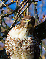 A red-tailed hawk (Buteo jamaicensis) is in a tree staring directly at viewer in a high constrast photo with blue sky background through the trees.