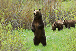 Grizzly No. 399 stands on hind legs to survey area while cubs wait behind her in Grand Teton National Park, WY