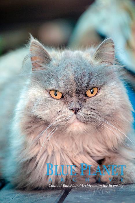 persian cat, feline, Greece