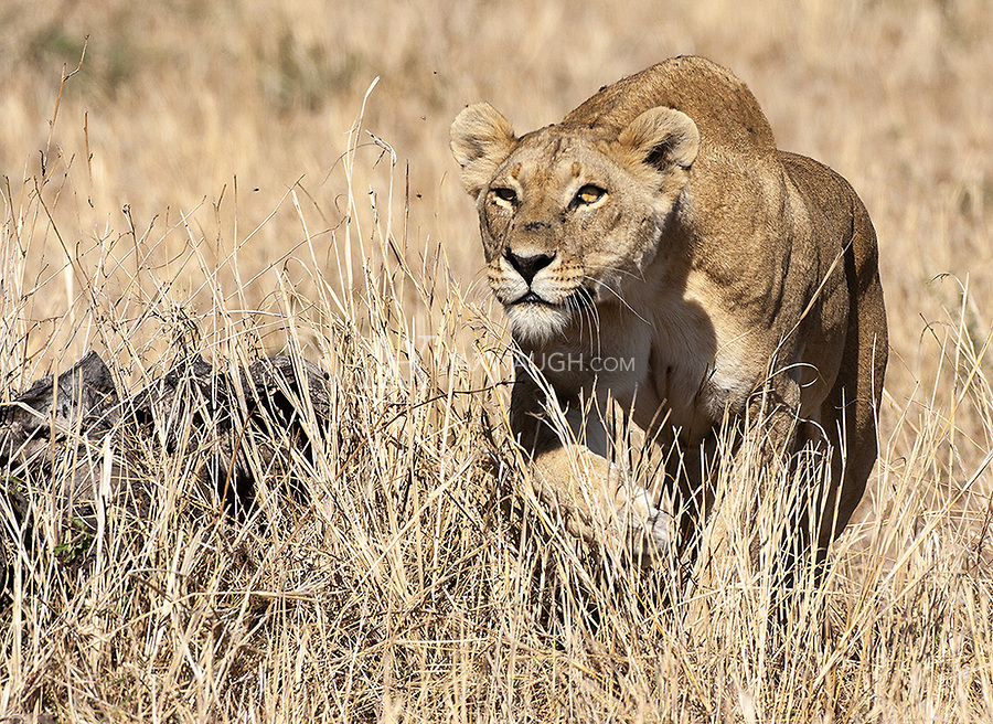A lioness hunts zebras in the Serengeti. At one point she used our vehicle for cover. The hunt ultimately failed.