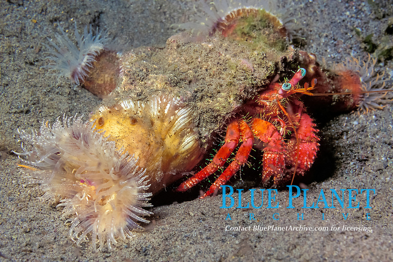 stareye hermit crab, Dardanus venosus, symbiotic anemones, Calliactis tricolor or hitchhiking anemone attached to shell (protect crab with stinging cells) Dominica (Eastern Caribbean Sea), Atlantic