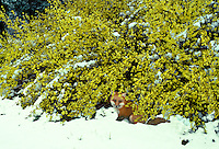Forsythia × intermedia in early spring bloom caught by late snow with a red fox, Vulpes fulva, hiding beneath heavy boughs of yellow flowers