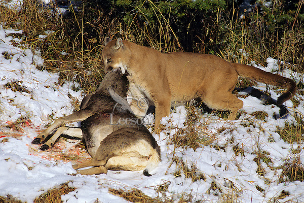 Mountain Lion or cougar with freshly killed deer. (Puma Concolor)