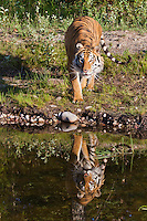 Siberian Tiger with reflection by a pond - CA
