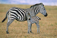 Plains Zebra or Burchell's Zebra (Equus burchellii) mother with young foal, Serengeti National Park, Tanzania.
