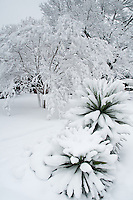 Heavy snow blankets Yucca plants in Richardson Texas after a record snowfall.
