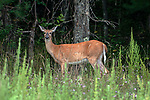 White-tailed deer doe grazing in an open field at the edge of dense forest cover looking at camera.