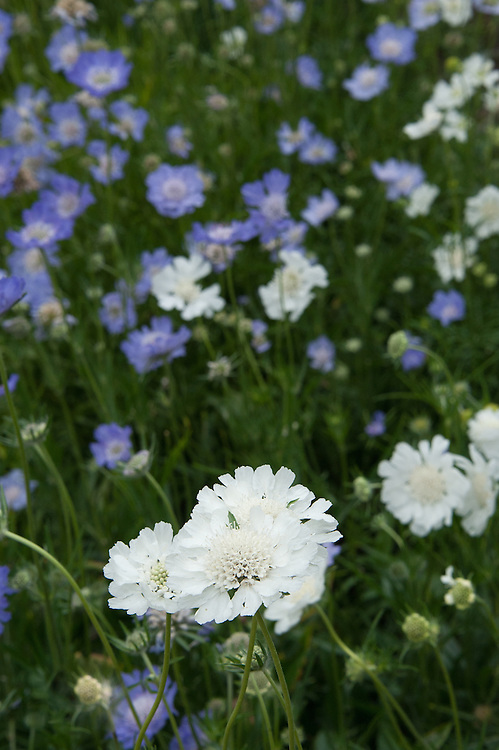 Scabiosa caucasia perfecta 'Alba' and 'Blue', early August.