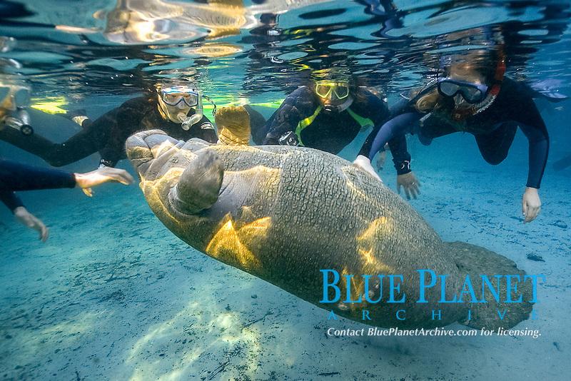 Free divers observe playful Florida manatee, Trichechus manatus latirostris, Crystal River, Florida, USA
