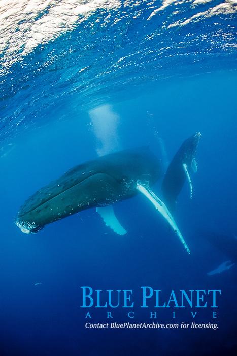 humpback whale, Megaptera novaeangliae, mother and calf, Rurutu, Tahiti, French Polynesia, Pacific Ocean