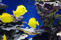Yellow tang surgeonfish in a tropical aquarium at the Musée Océanographique, Monaco, 5 July 2013