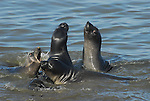 Juvenile male elephant seals play fight Northern elephant seals