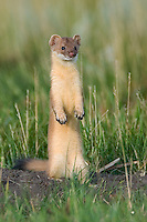 Long-tailed weasel pauses while hunting Richardson's ground squirrels in a field