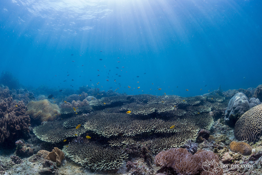 Hard coral in shallow reef in the Lembeh Strait / Indonesia
