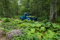 Old pickup truck filled with a vegetable garden at Alaska Botanical Garden, Anchorage;