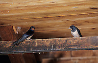 Barn Swallow, Hirundo rustica, adult and newly fledged young in Barn, Oberaegeri, Switzerland, July 1997