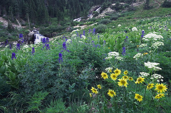 Wildflowers in Yankee Boy Basin,Tall Larkspur, Sunflowers, Loveroot, Ouray, San Juan Mountains, Rocky Mountains, Colorado, USA