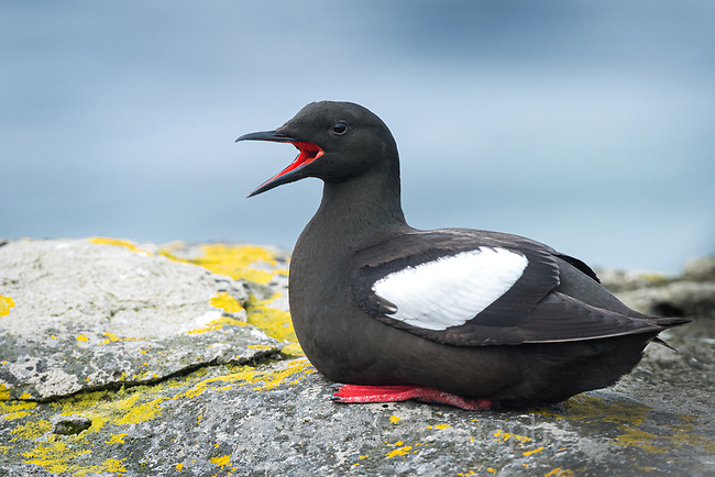Black Guillemot (Cepphus grylle) calling. Grimsey Island, Iceland. July.