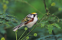 Chestnut-sided Warbler, Dendroica pensylvanica,male, South Padre Island, Texas, USA