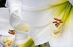 Close-up of white trumpet lily, Lilium longiflorum 'White Heaven'