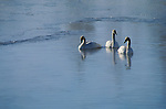Three trumpeter swans float on water on the National Elk Refuge in Jackson Hole, Wyoming.
