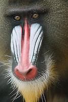 Mandril (Mandrillus sphinx)