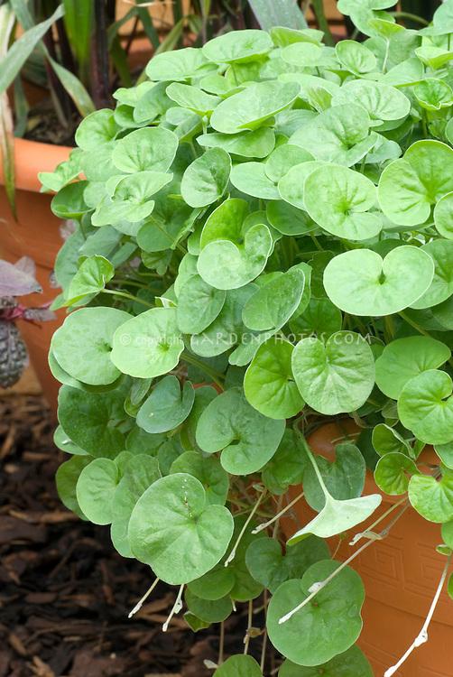 Dichondra 'Emerald Falls' in pot