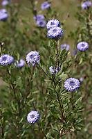 Kugelblumenstrauch, Kugelblumen-Strauch, Globularia alypum, Alypum salicifolium, Globularia alypa, Globulaire buissonnante