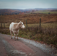 Cow walking along a dirt road infront of a fence in the Sinks of Gandy, West Virginia