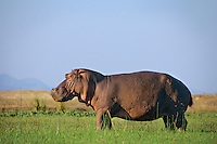 Common Hippopotamus (Hippopotamus amphibius) along the Zambezi River, Mana Pools National Park, Zimbabwe.