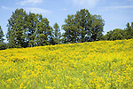 Field of goldenrod, Solidago sp