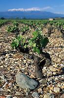 Europe/France/Languedoc-Roussillon/66/Pyrénées-Orientales/Rivesaltes: Le vignoble et le canigou - Vigne taillée en godet
