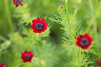 Herbst-Adonisröschen, Herbstadonisröschen, Adonis annua, Adonis autumnalis, Adonis phoenicea, Pheasant's-eye, Adonis' Flower, autumn adonis, Autumn Pheasant's-eye, Blooddrops, Red Chamomile, Red Morocco, Rose-a-ruby, Soldiers-in-green, L'adonis d'automne, adonis annuelle, Adonis goutte-de-sang