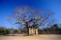 Safari participants stand against a large baobob tree.  Baobob trees have leaves for only a short period of time each year. Matusadona National Park, Zimbabwe