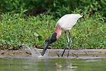 Jabiru Stork (Jabiru mycteria) catching a fish (Pacu) on the edge of the Paraguay River. Taiama Ecological Reserve, Pantanal, Brazil.