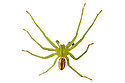 Green Huntsman Spider male (Micrommata virescens) photographed on a white background in mobile field studio. Nordtirol, Austrian Alps. June.