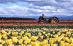 Tractor in tulip farm, Willamette Valley, Oregon