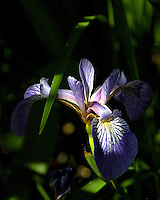 Sunlight spilling over a Blue Flag Iris in the Boundary Waters Canoe Area Wilderness in Minnesota.