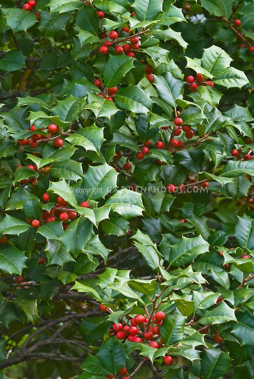 Ilex opaca 'Miss Helen' Holly in autumn fall berries berry