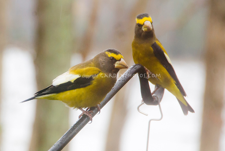 Evening Grosbeak finch birds two, pair