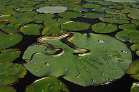 Gulf Coast Ribbon Snake (Thamnophis proximus orarius), adult sunning on lily pad of American Lotus (Nelumbo lutea), Fennessey Ranch, Refugio, Corpus Christi, Coastal Bend, Texas Coast, USA