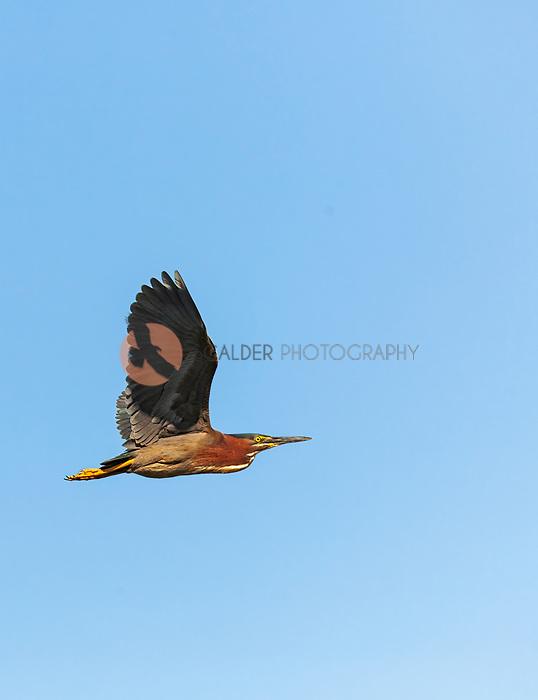 Green Heron in flight wings aloft against bright blue sky